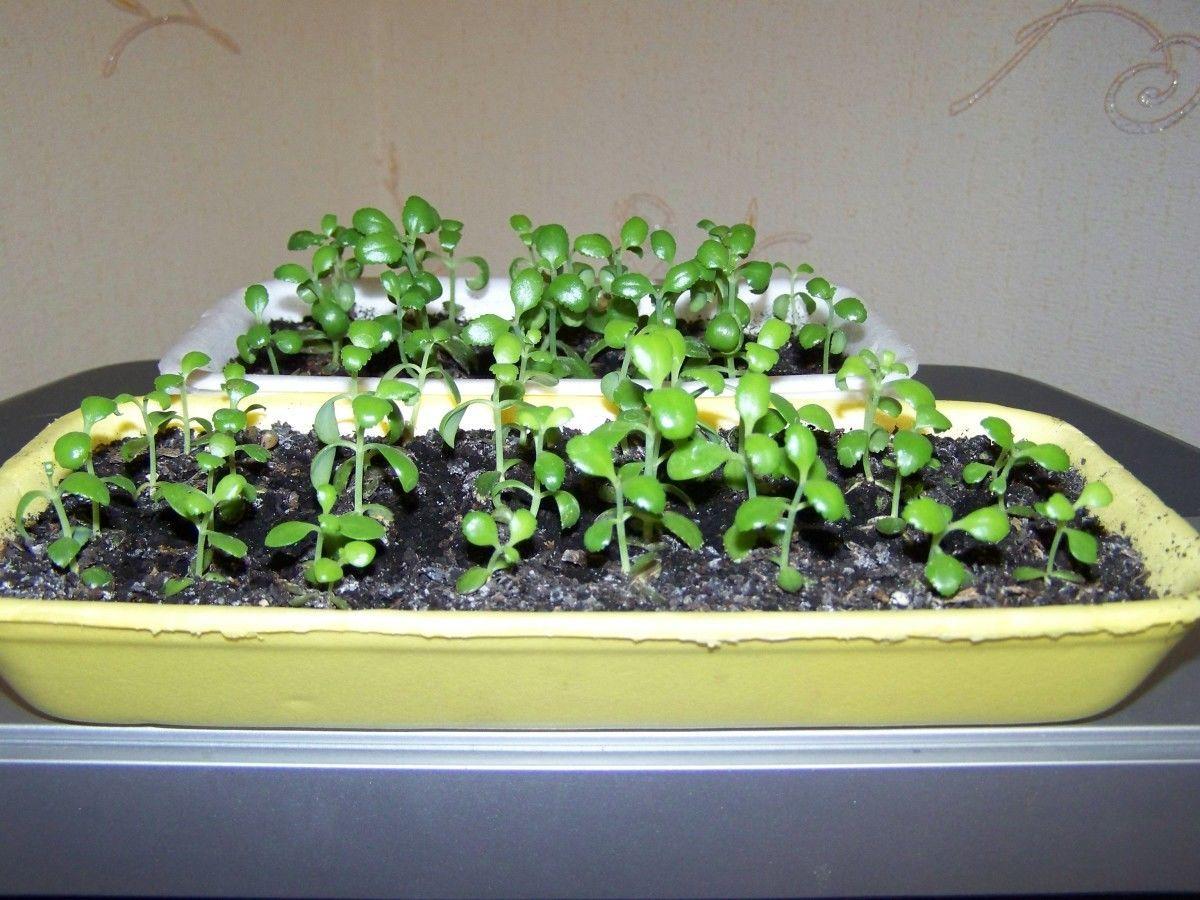 Размножение Каланхоэ семенами