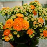 Фото цветения каланхоэ 1