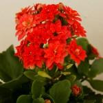 Фото цветения каланхоэ 2