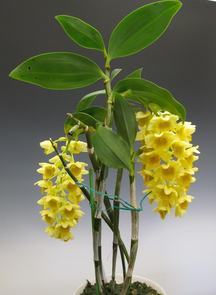 Фото вида дендробиум густоцветный