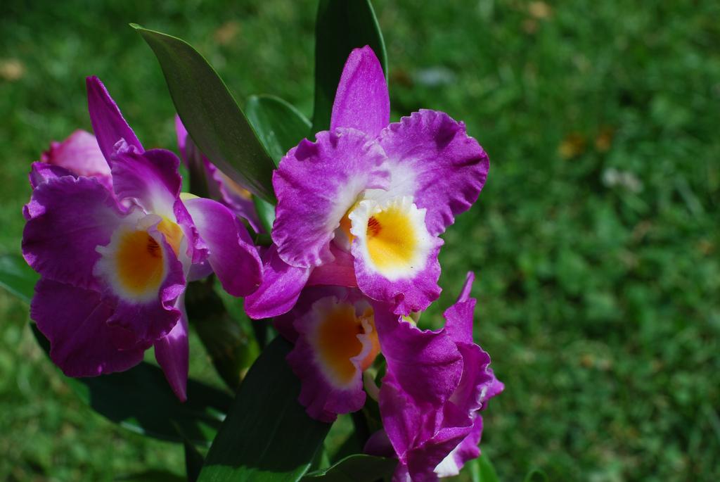 Фото цветка дендробиума