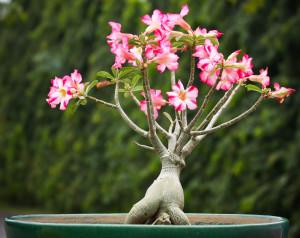 Адениум нельзя держать дома из за его цветов