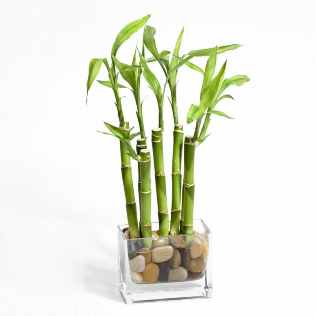 Бамбук можно заводить