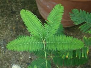 Мимоза - опасное растение для дома
