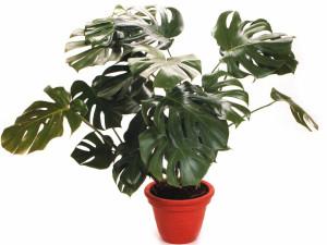 Монстерра не очень опасное растение, но всё таки дома лучше его не заводить