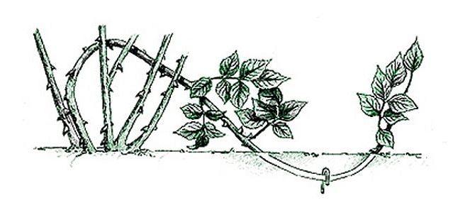 Как укоренить отводок розы