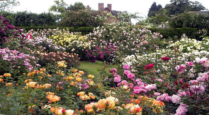 Как размножить розы