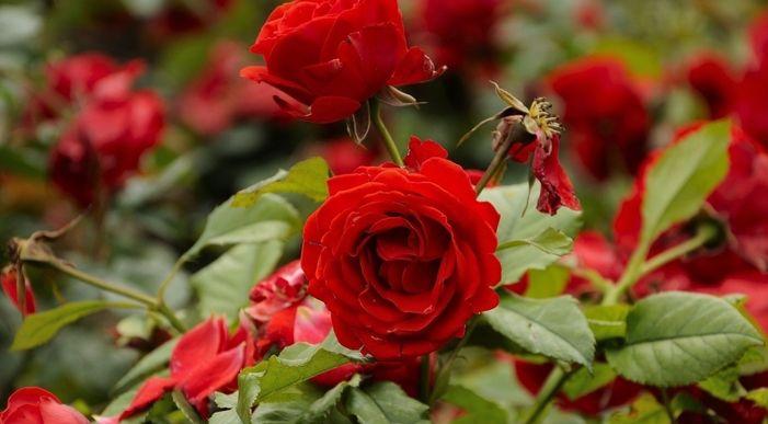 Обработка роз купоросом