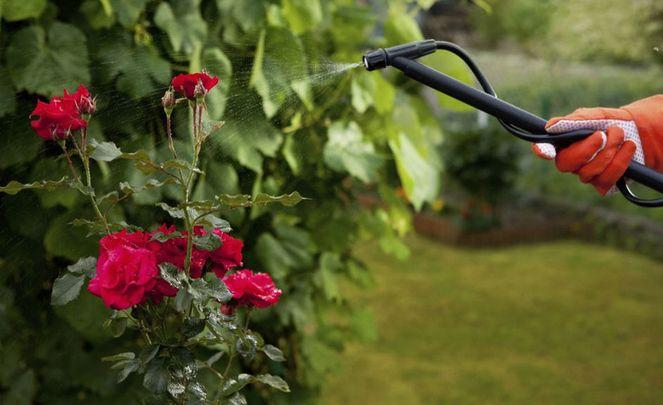 Обработка розовых кустов