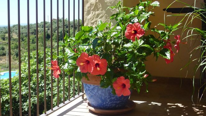 Горшок с китайской розой на балконе