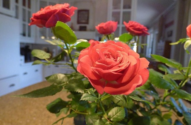 Адаптация розы Кордана после покупки