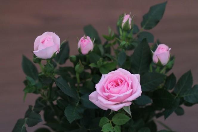 Освещение розовых кустов в горшках